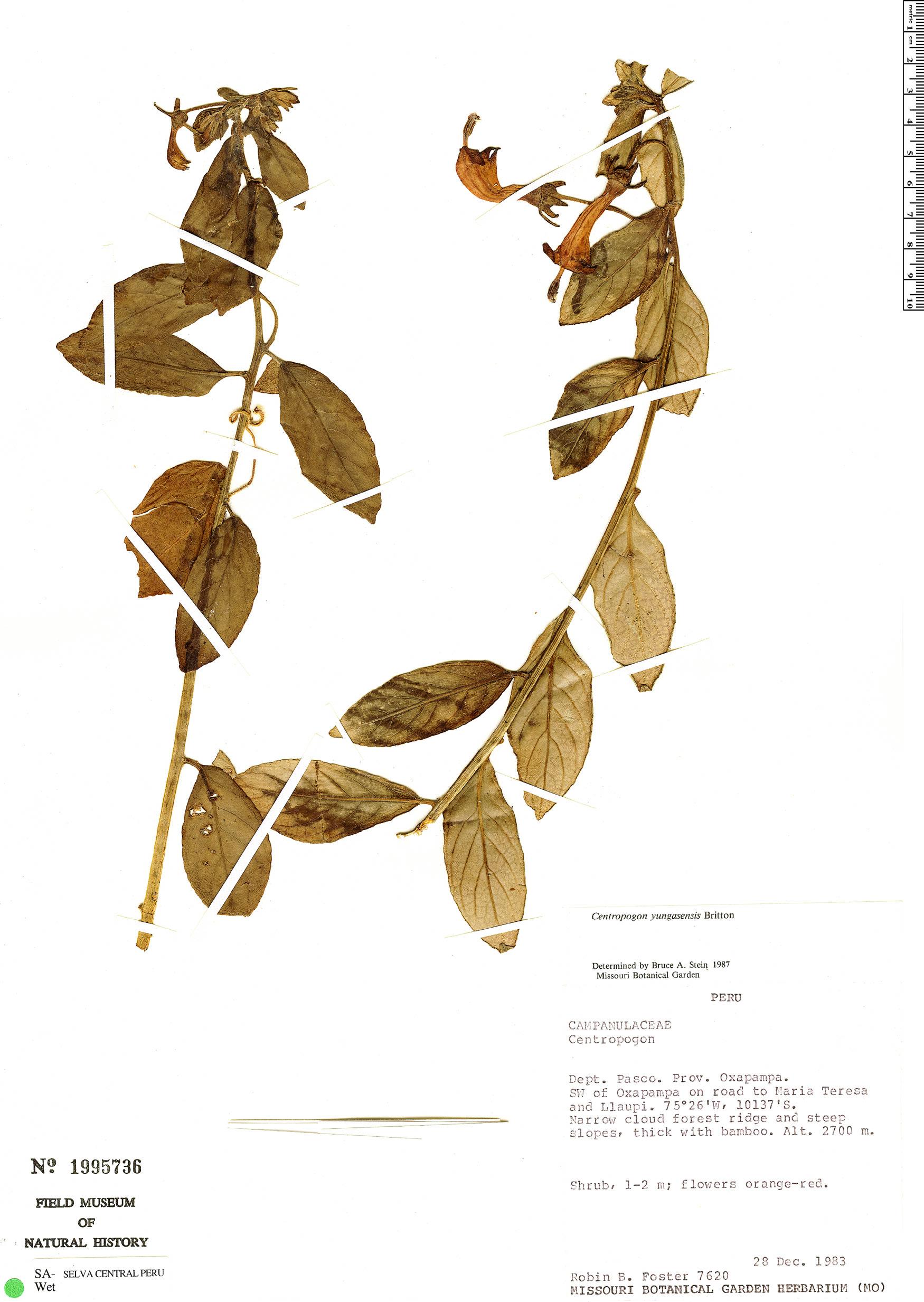 Specimen: Centropogon yungasensis