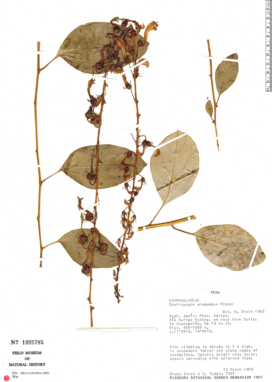 Specimen: Centropogon urubambae