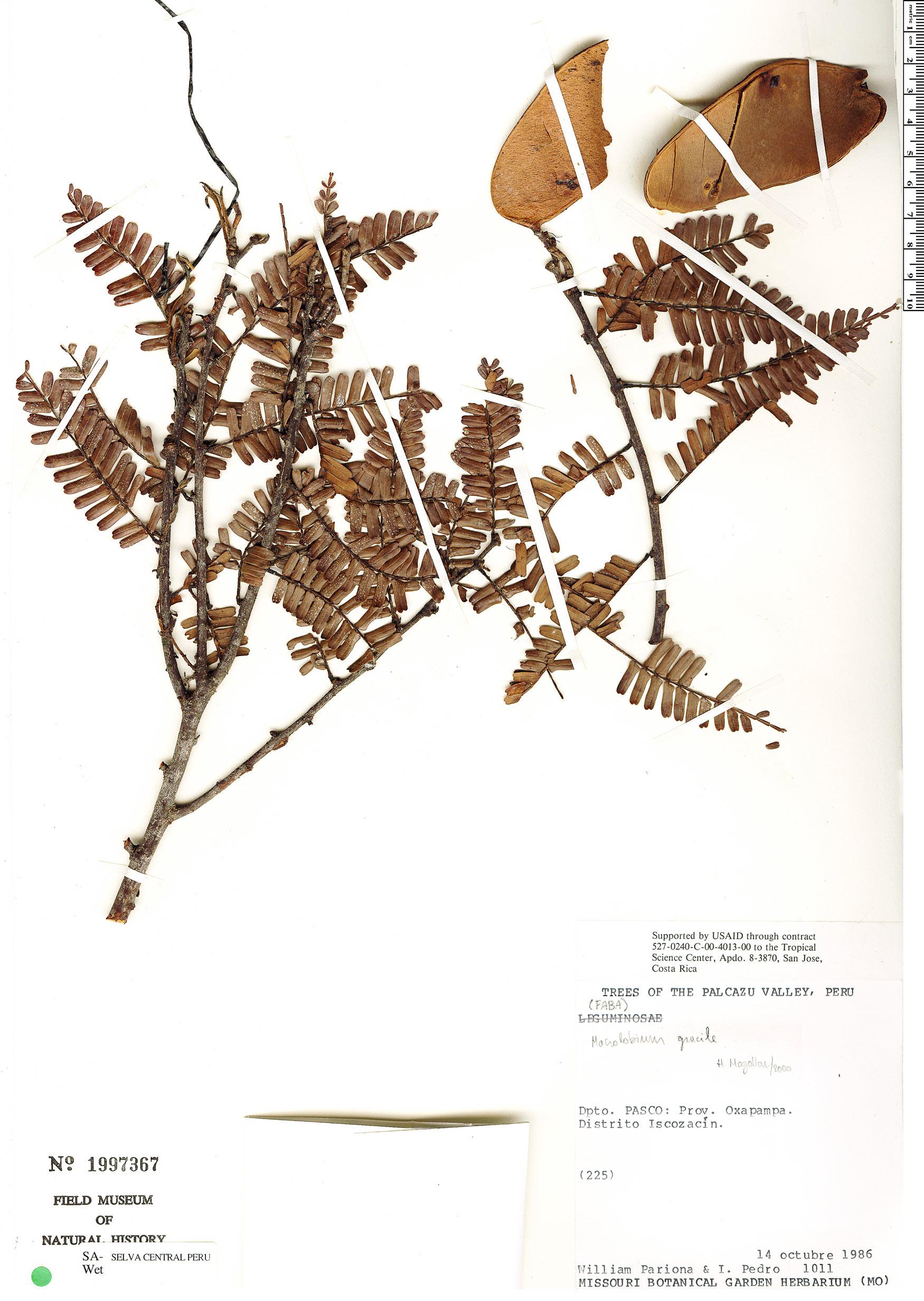 Specimen: Macrolobium gracile