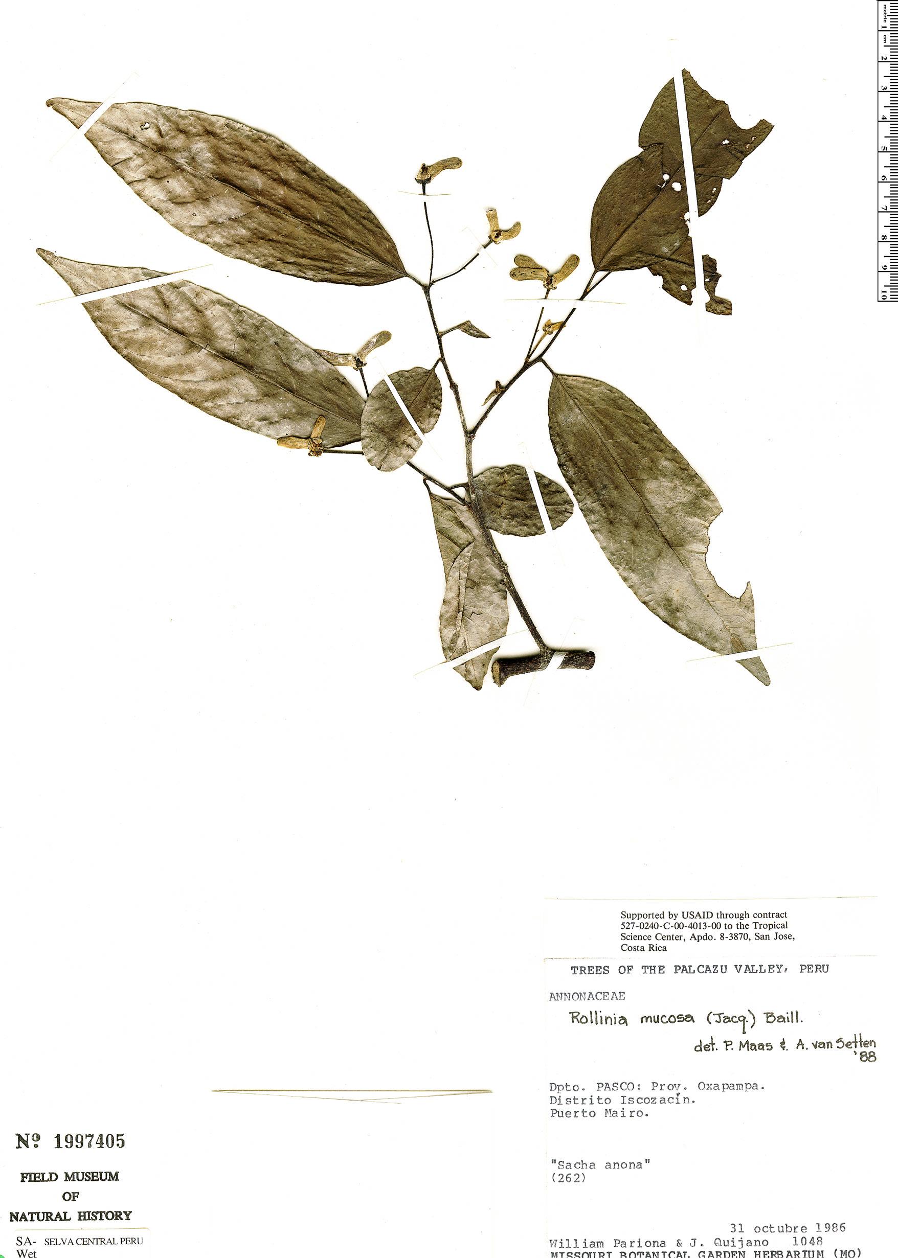 Specimen: Annona mucosa