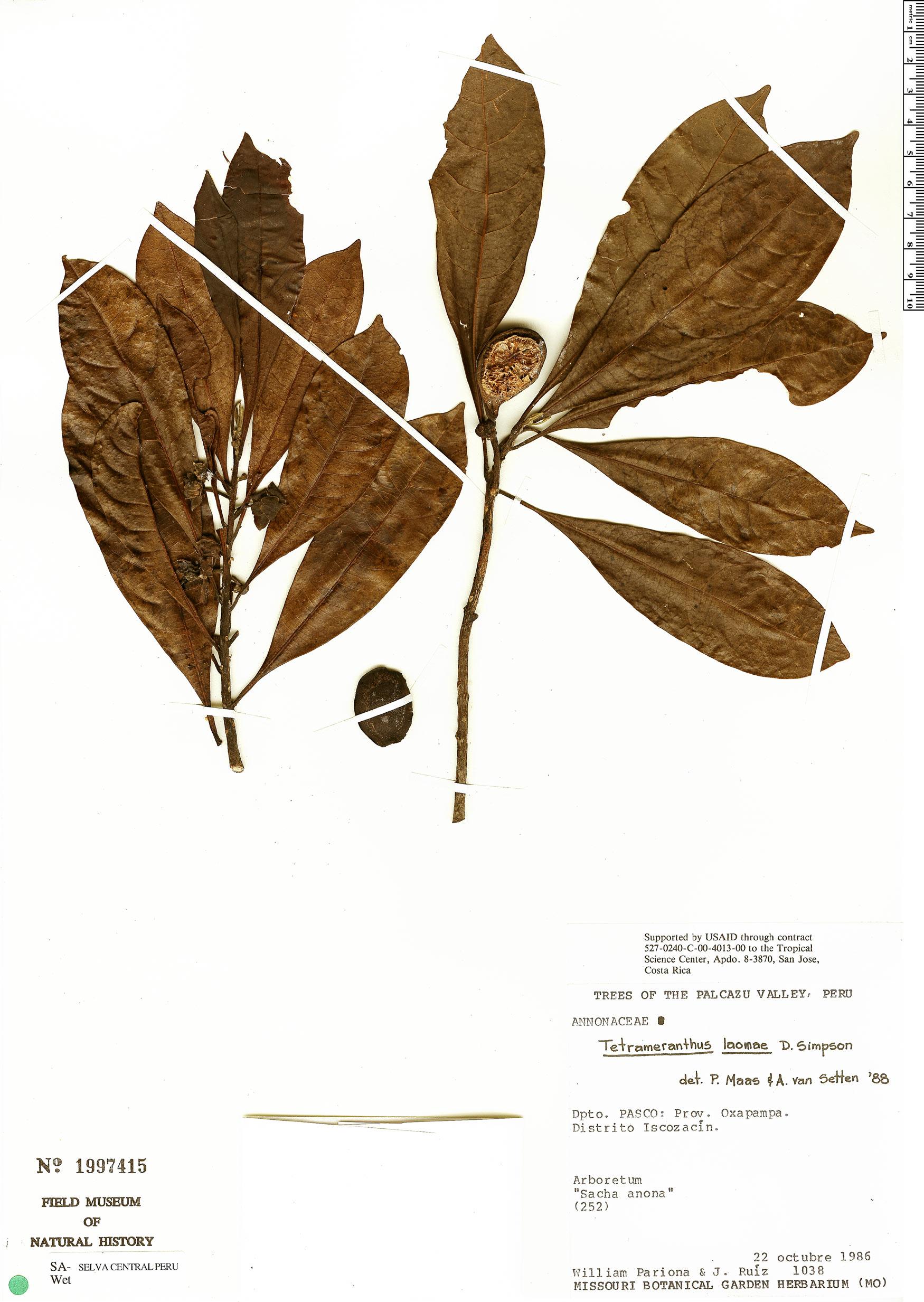 Specimen: Tetrameranthus laomae