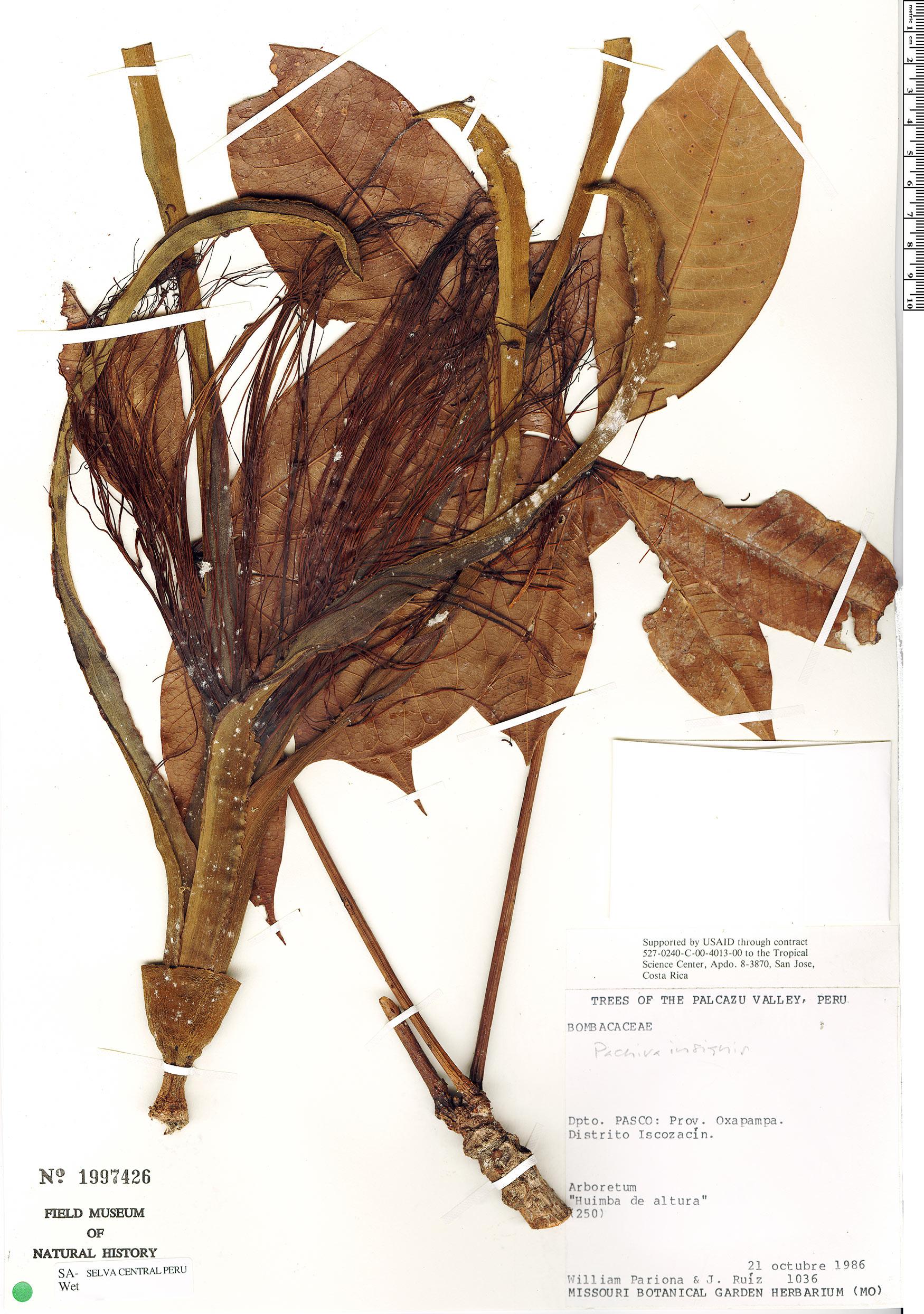 Specimen: Pachira insignis