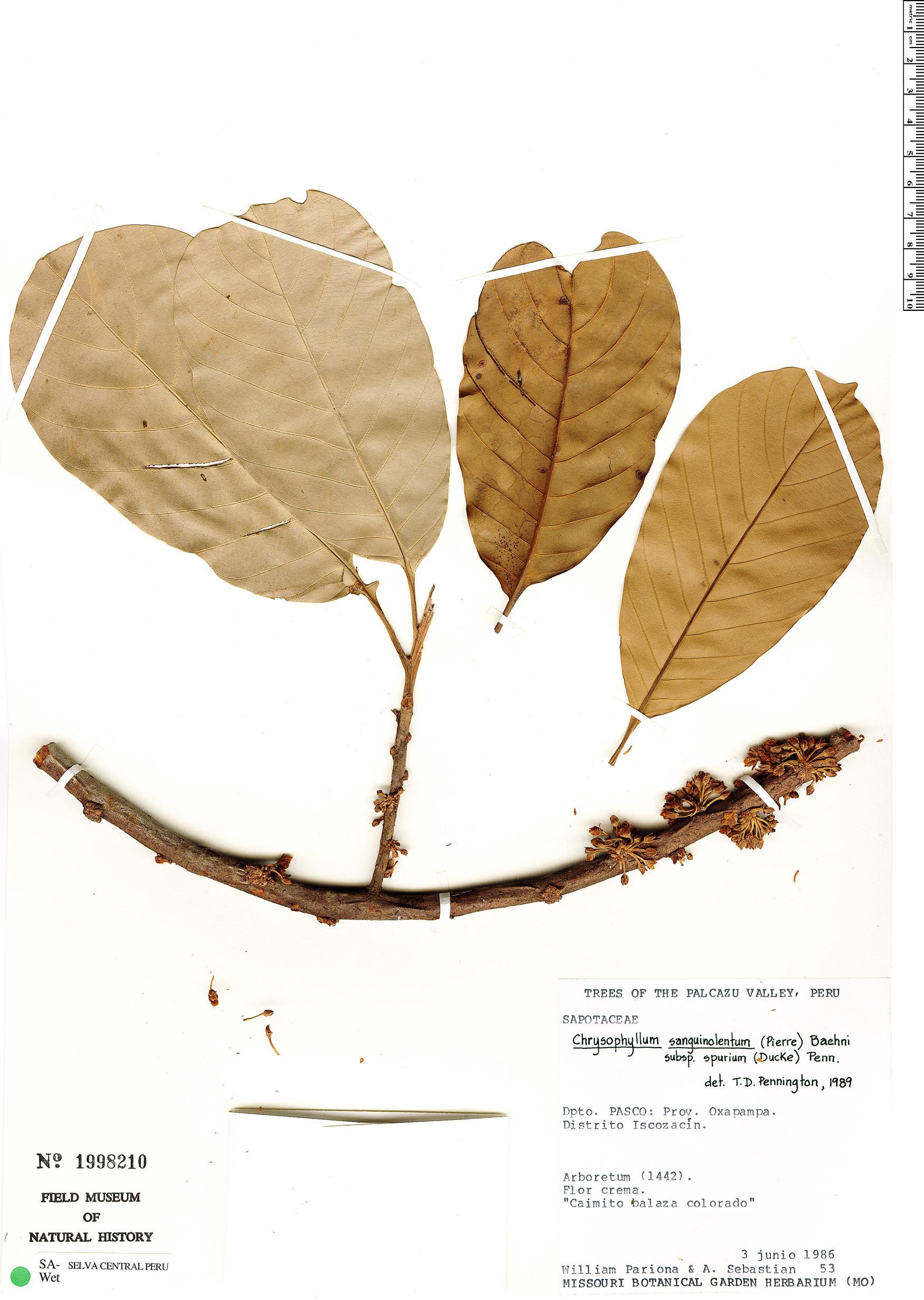 Specimen: Chrysophyllum sanguinolentum