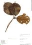 Couma macrocarpa Barb. Rodr., Peru, W. Pariona 892, F