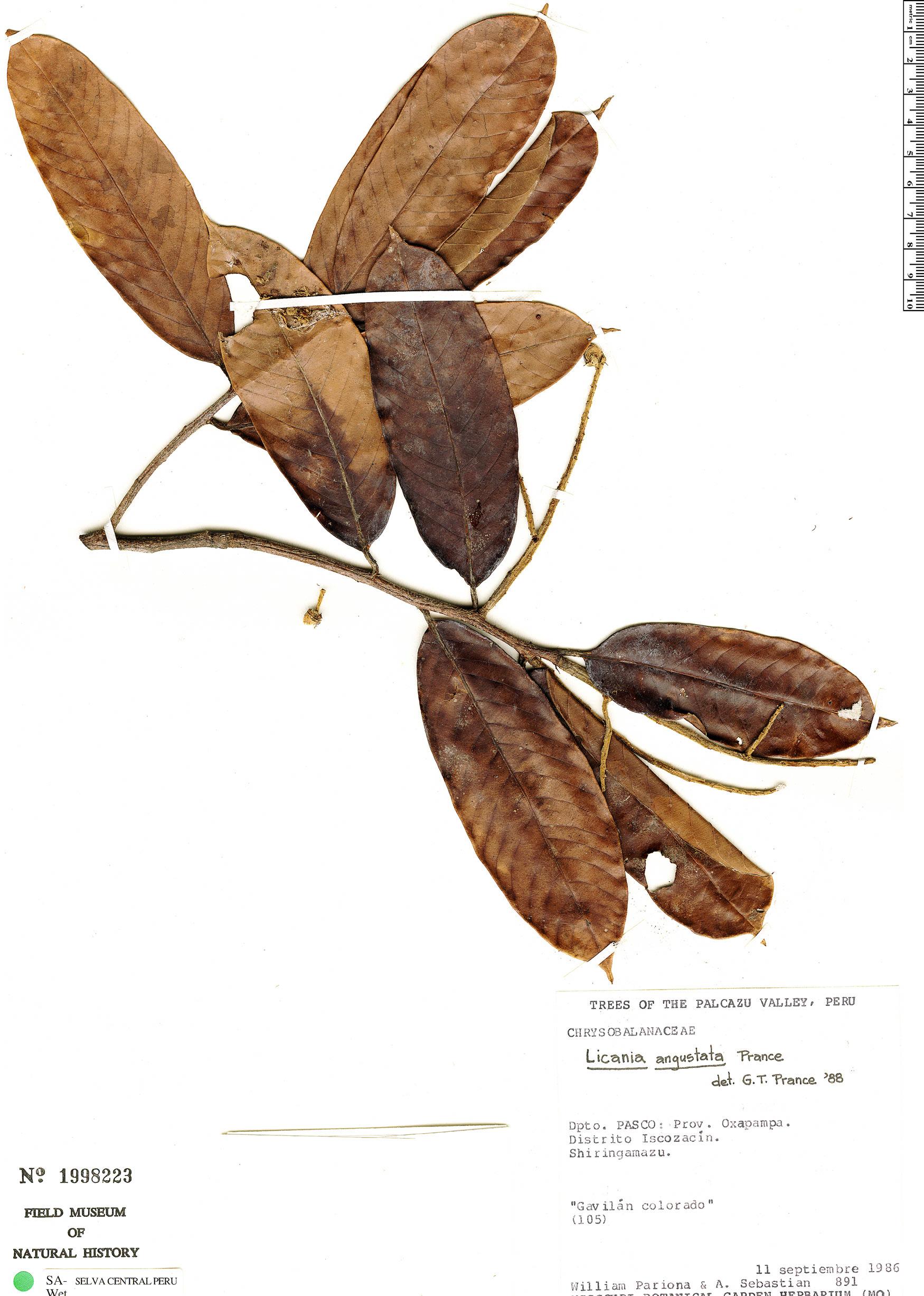 Specimen: Licania angustata