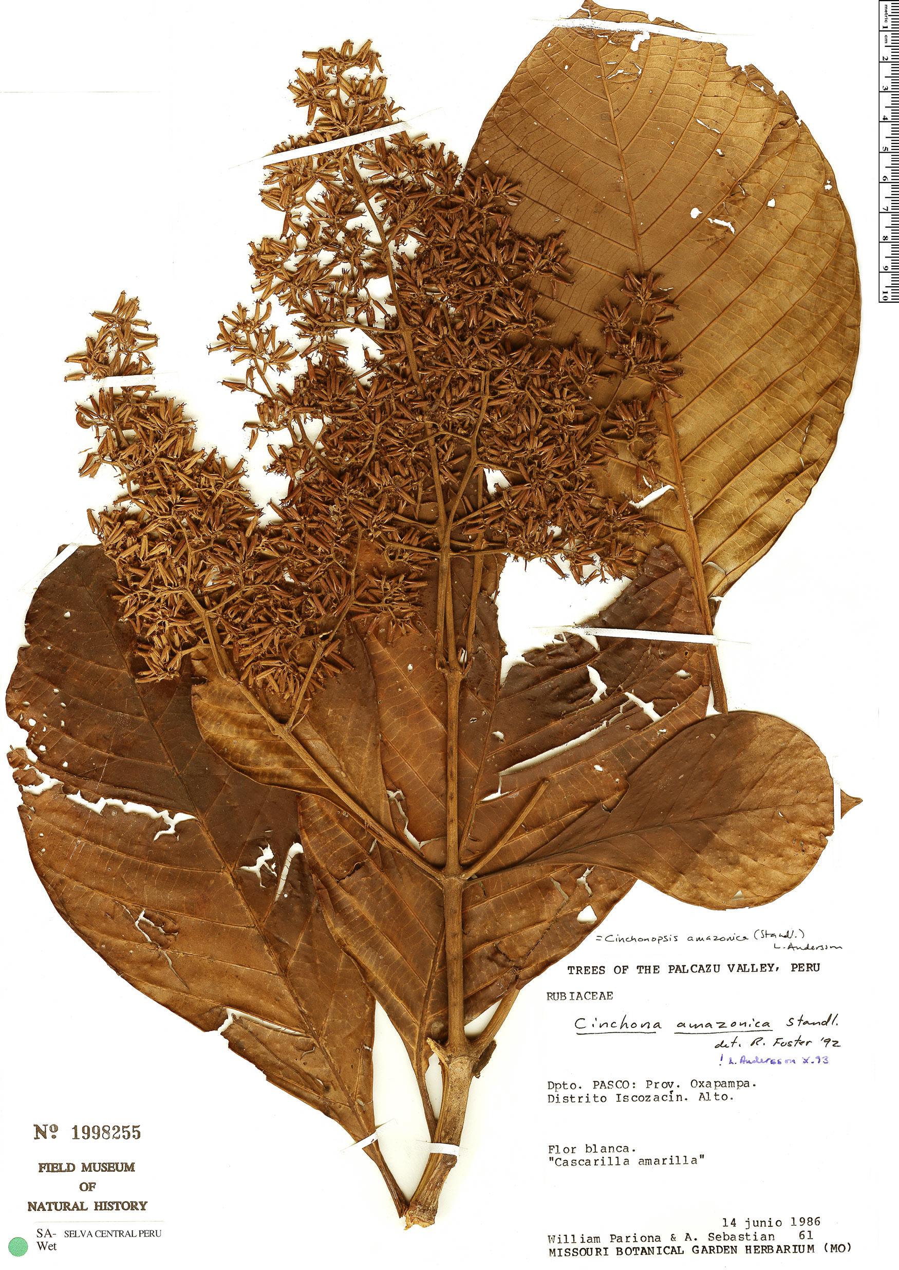 Specimen: Cinchonopsis amazonica
