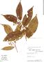Virola elongata, Peru, W. Pariona 74, F