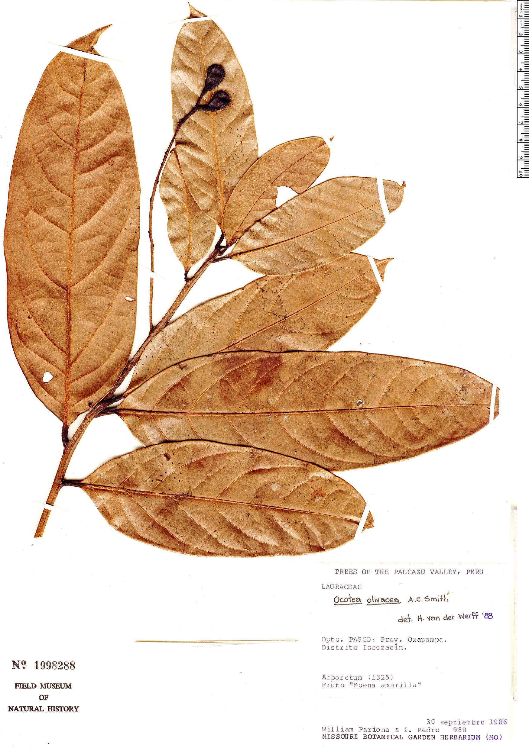Specimen: Ocotea olivacea