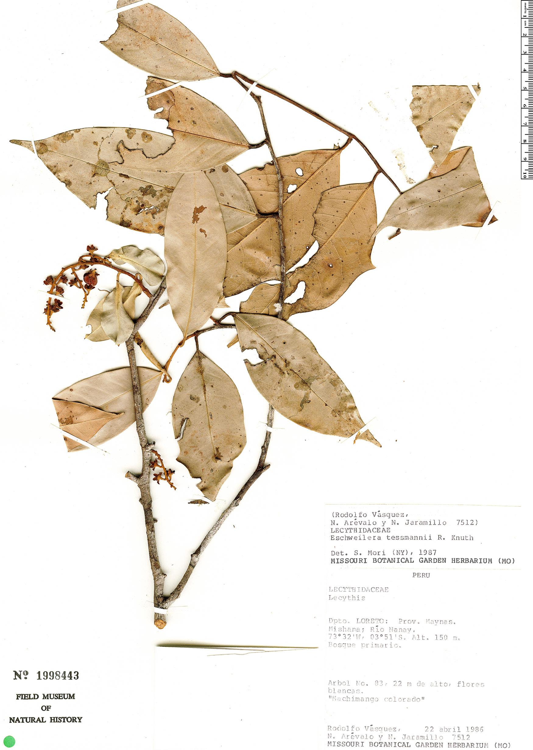 Espécimen: Eschweilera tessmannii