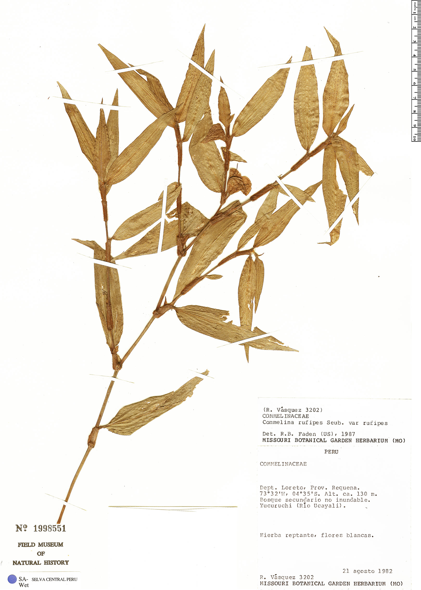Specimen: Commelina rufipes