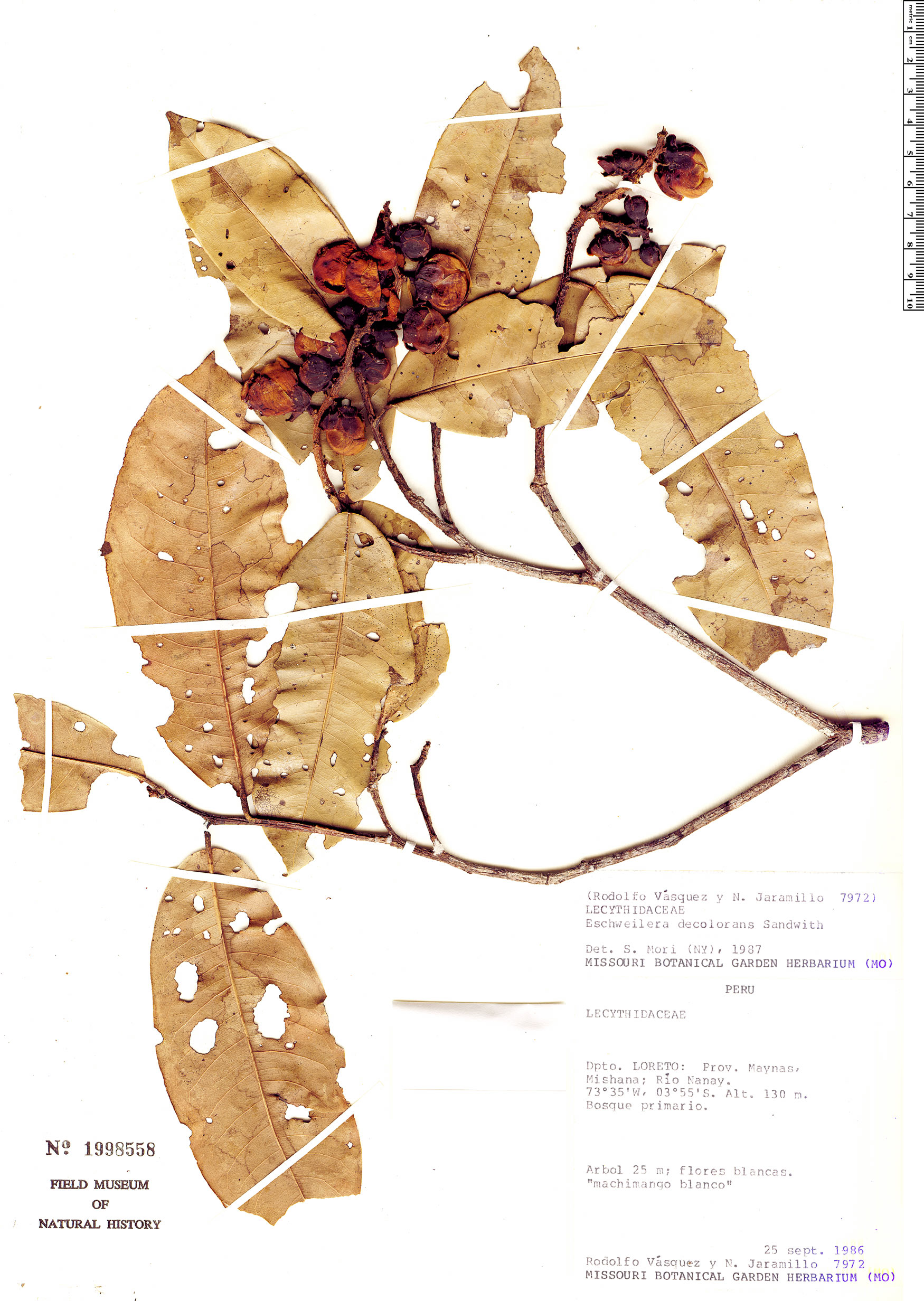 Specimen: Eschweilera decolorans