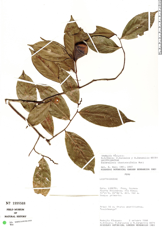 Specimen: Eschweilera chartaceifolia