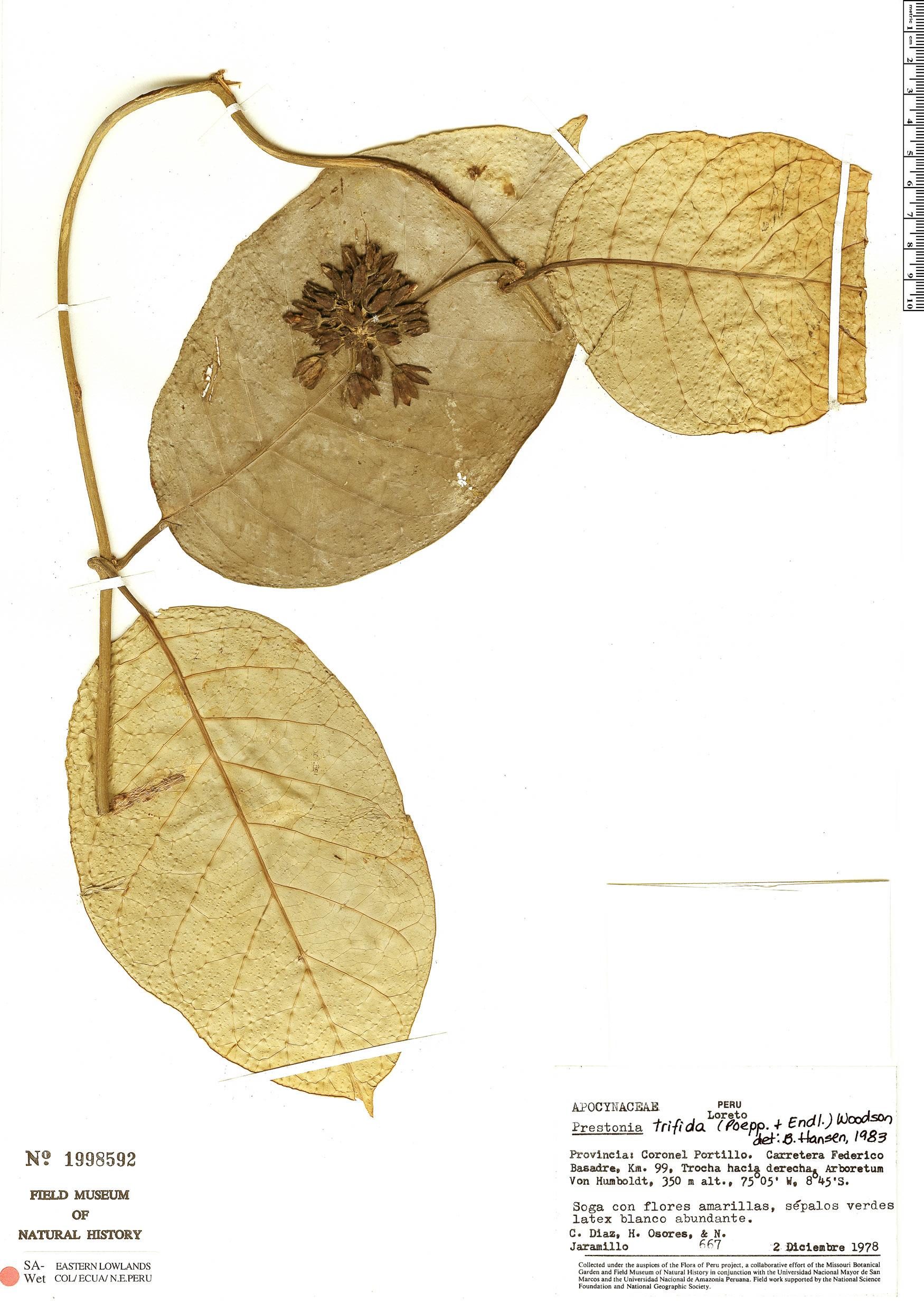 Specimen: Prestonia trifida