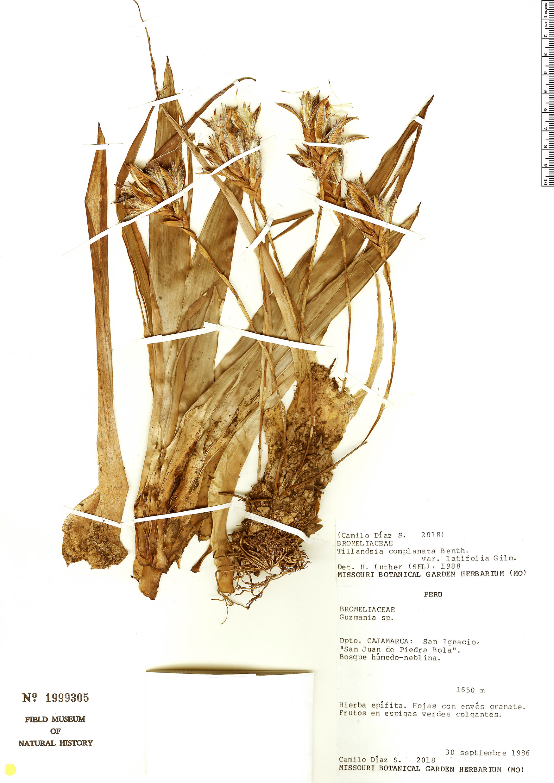 Specimen: Tillandsia complanata