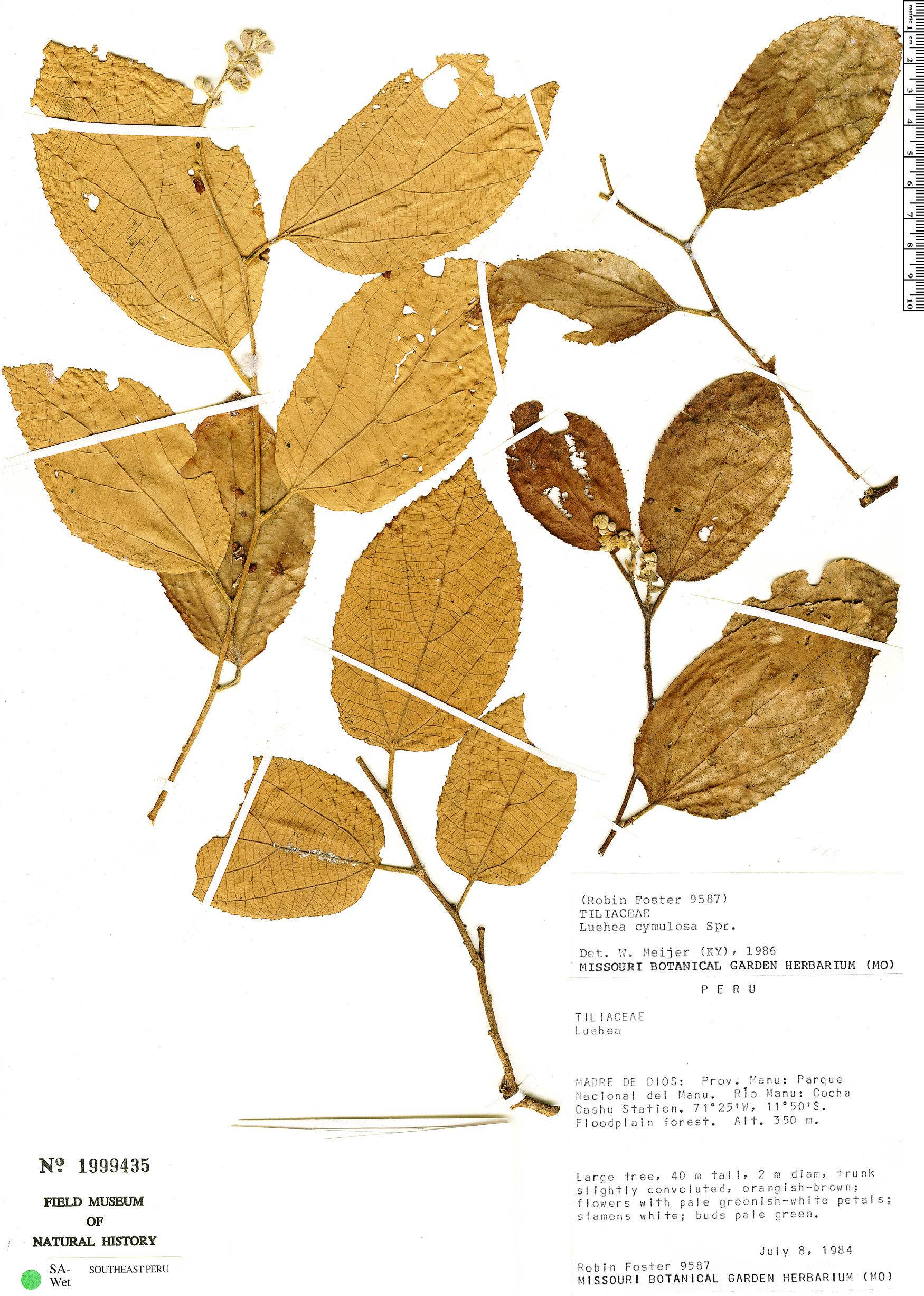 Specimen: Luehea cymulosa