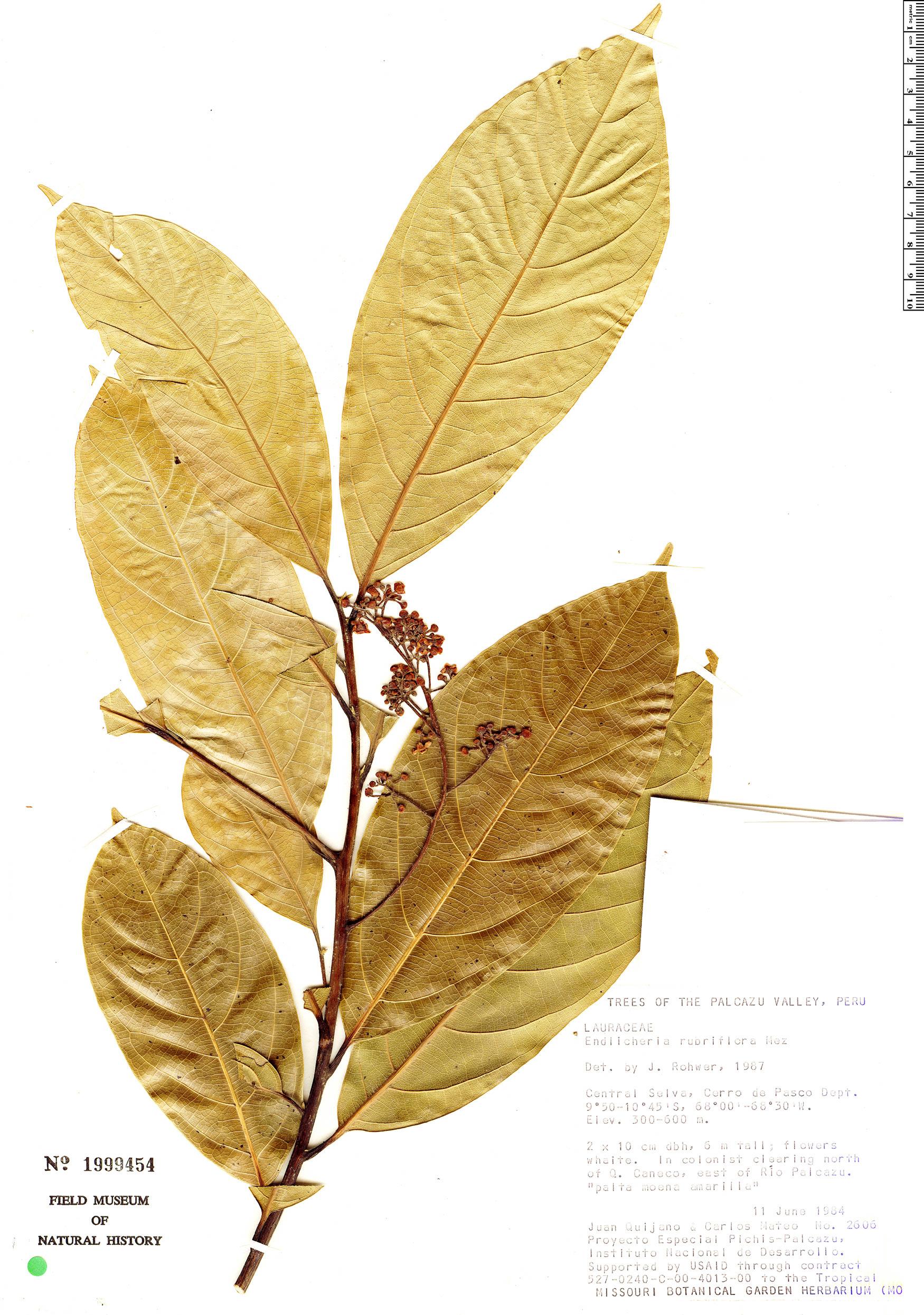 Specimen: Endlicheria rubriflora