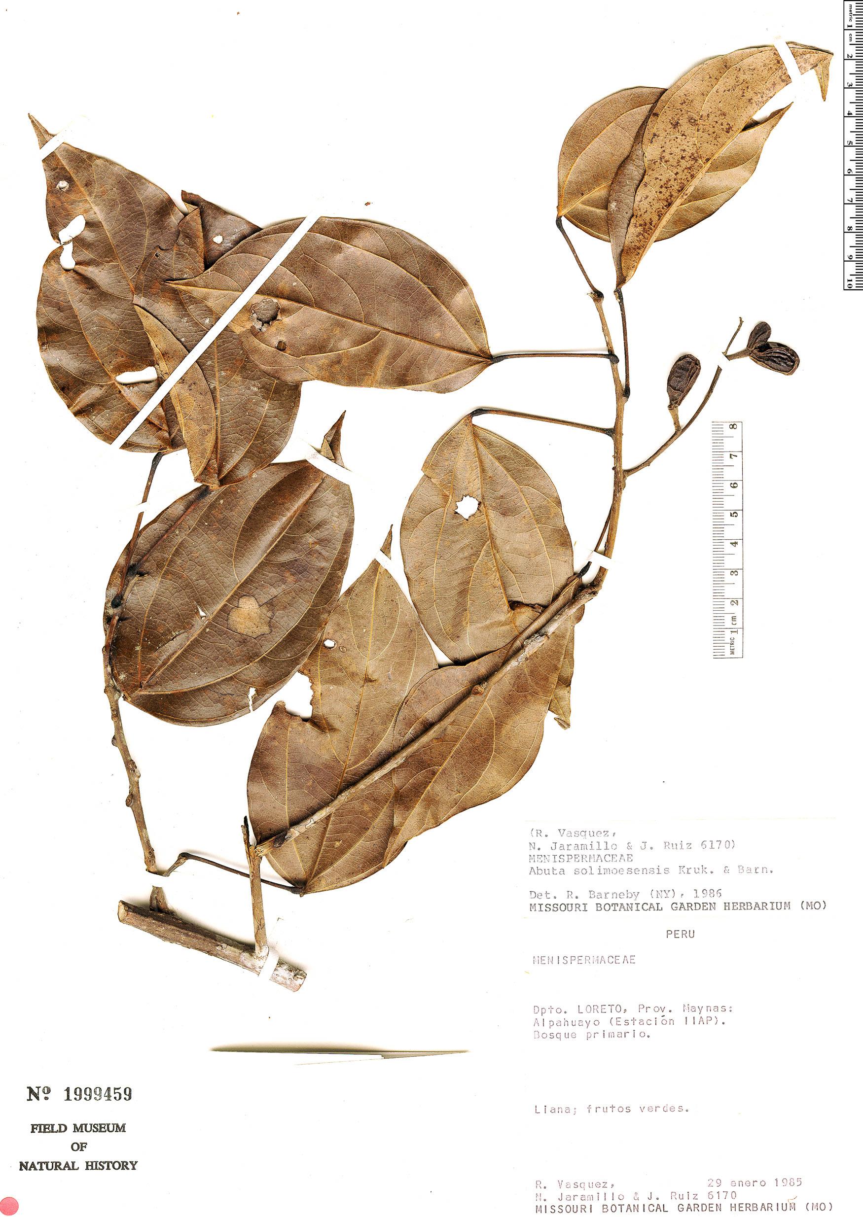 Specimen: Abuta solimoesensis