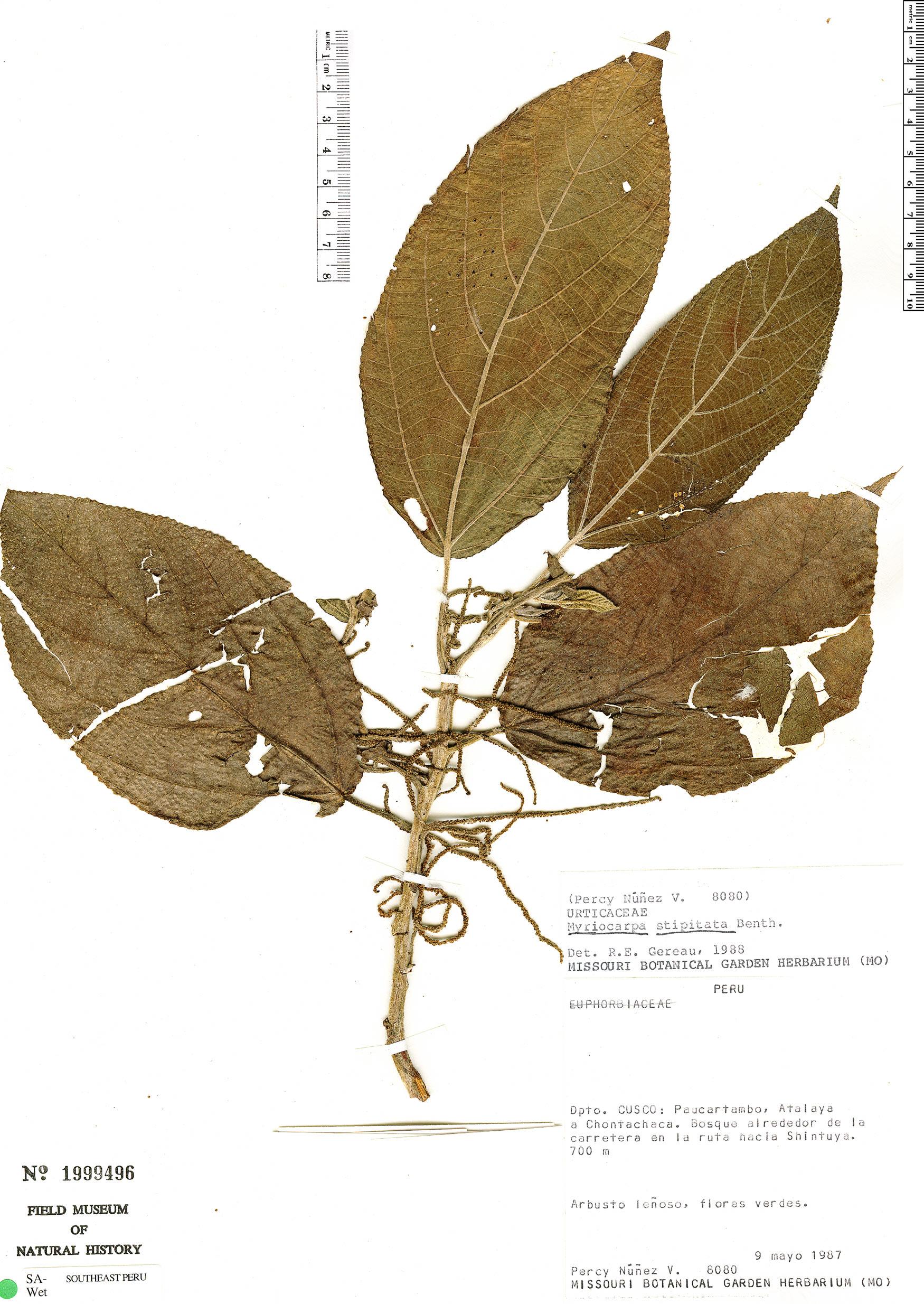 Specimen: Myriocarpa stipitata