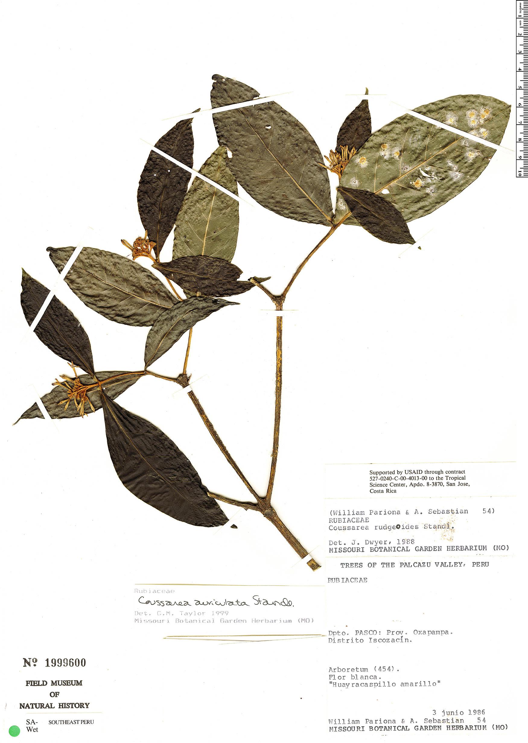 Specimen: Coussarea rudgeoides