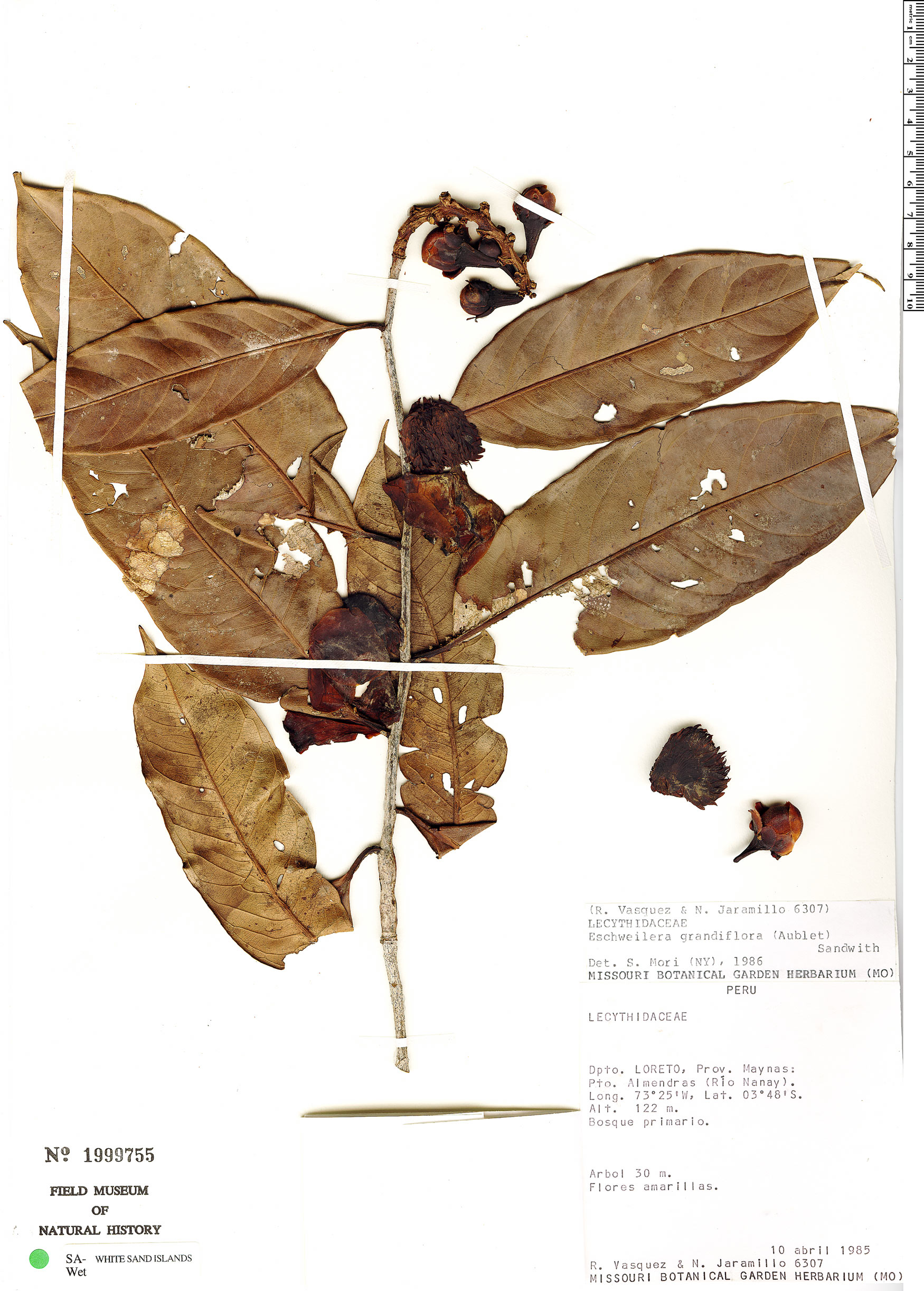Specimen: Eschweilera grandiflora