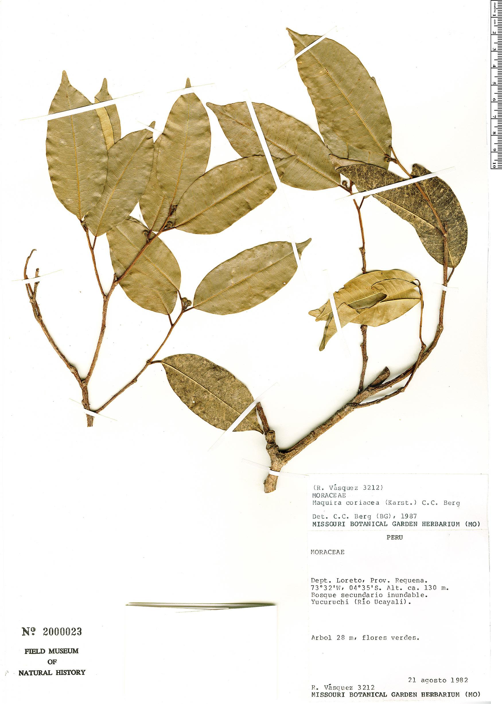 Specimen: Maquira coriacea