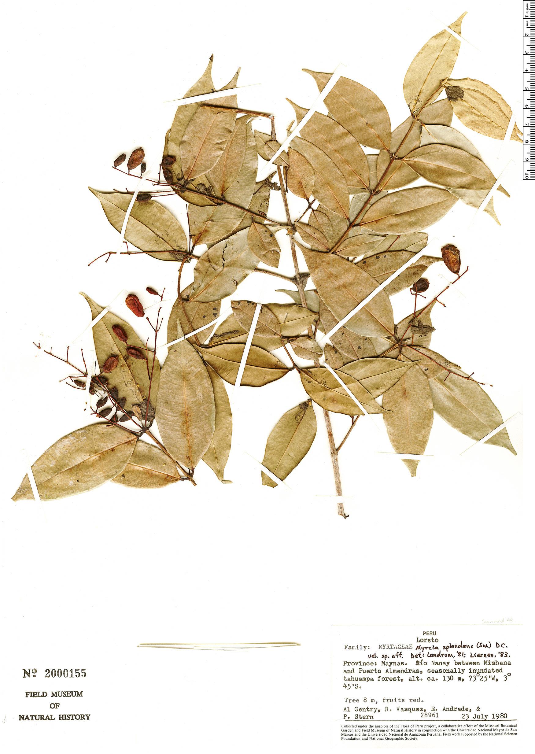 Specimen: Myrcia splendens