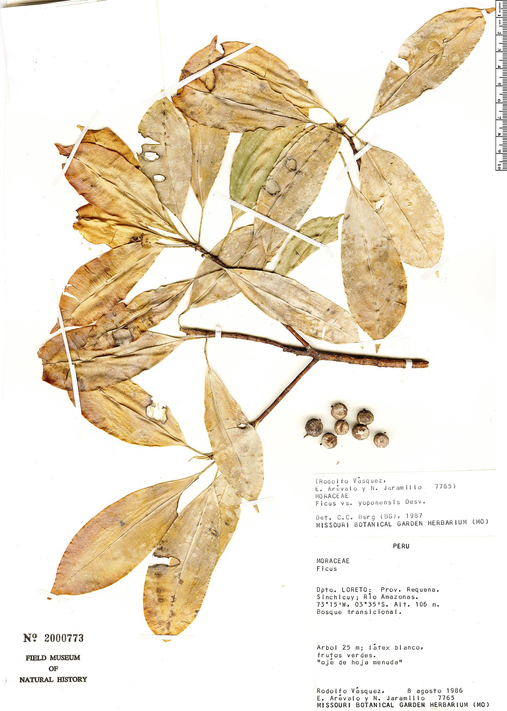 Specimen: Ficus yoponensis