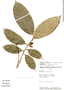 Trymatococcus amazonicus Poepp. & Endl., Peru, Rod. Vásquez 8069, F