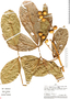Paullinia faginea (Triana & Planch.) Radlk., Peru, A. H. Gentry 29782, F
