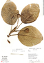 Coussapoa villosa Poepp. & Endl., Bolivia, S. G. Beck 16579, F