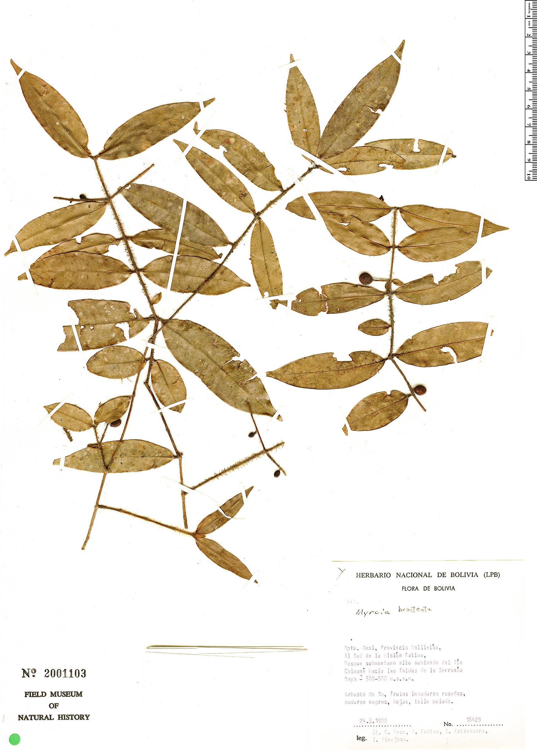 Espécime: Myrcia bracteata