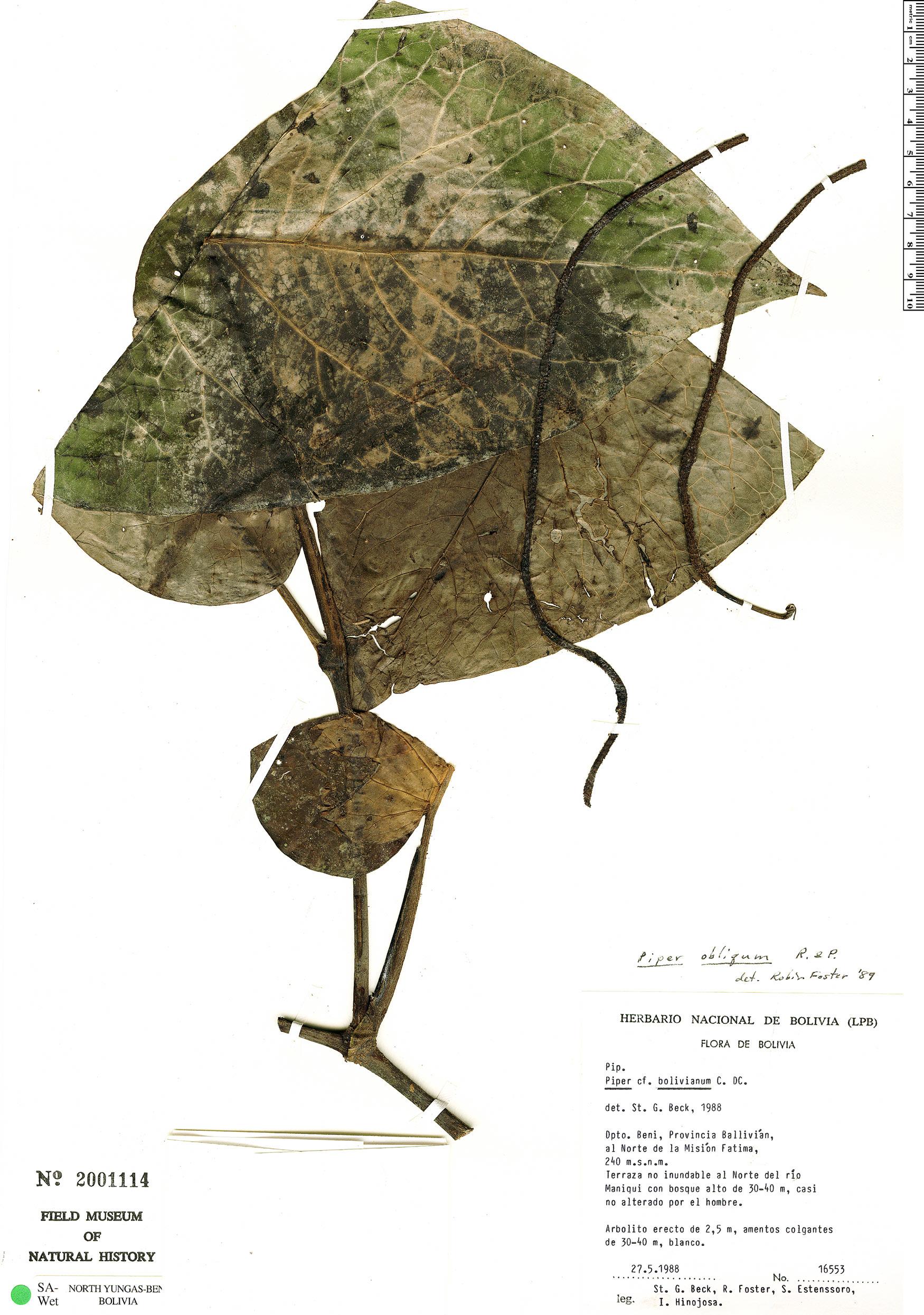 Espécimen: Piper obliquum
