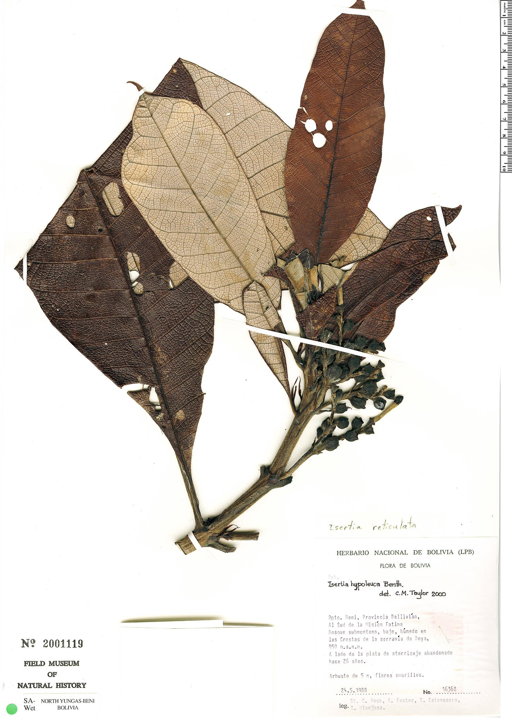 Specimen: Isertia hypoleuca