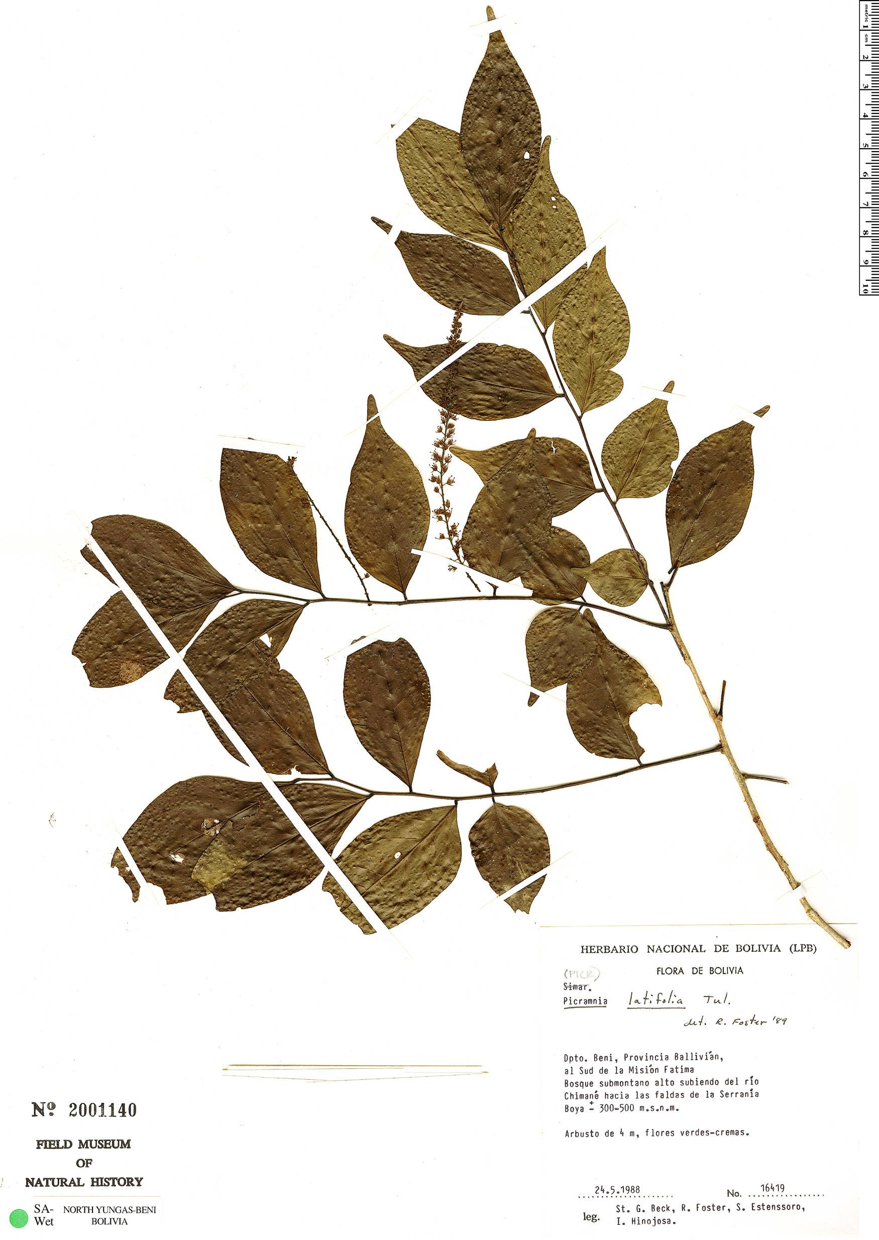 Specimen: Picramnia tenuis