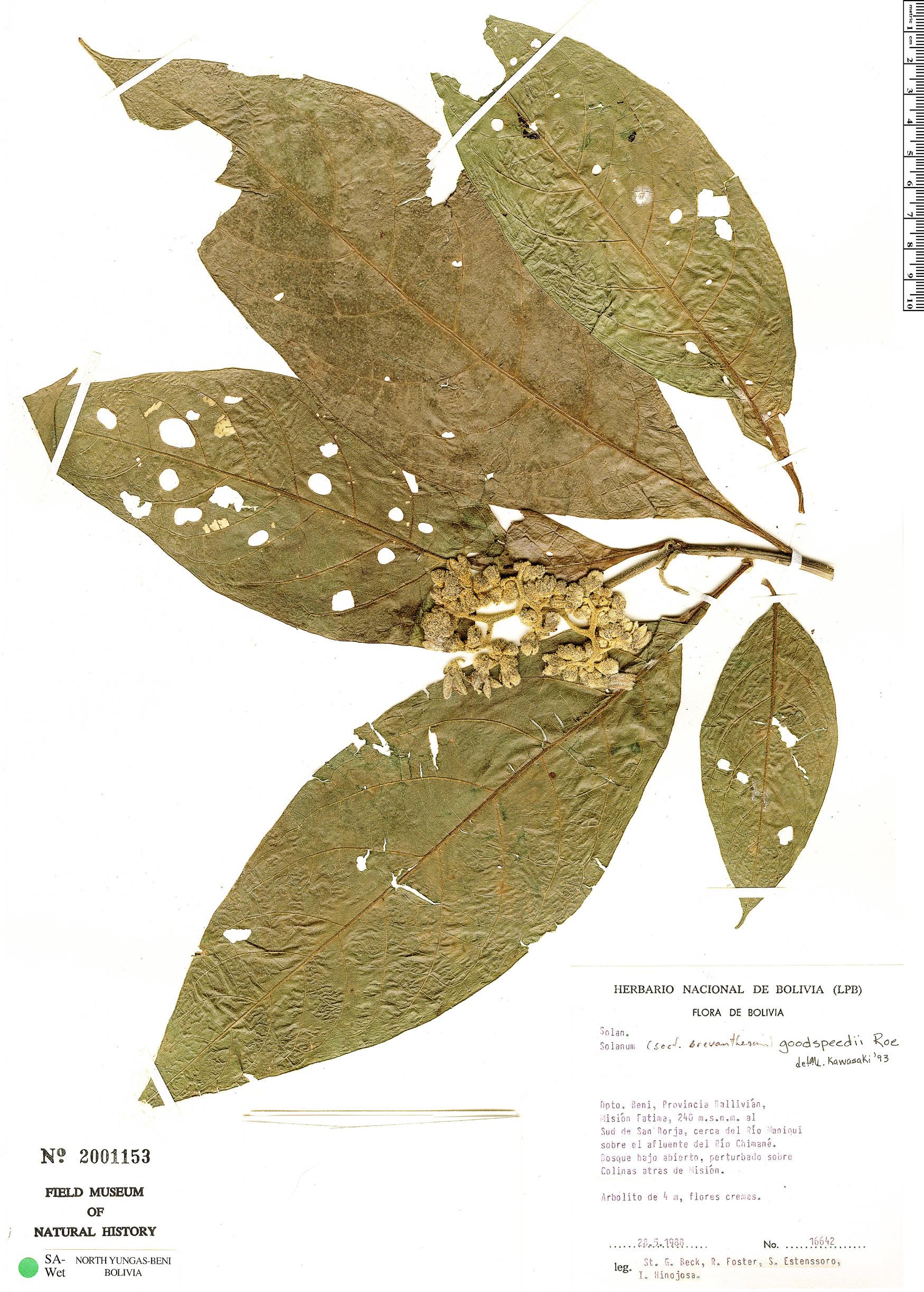 Specimen: Solanum goodspeedii