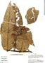 Virola sebifera, Peru, A. H. Gentry 31745, F