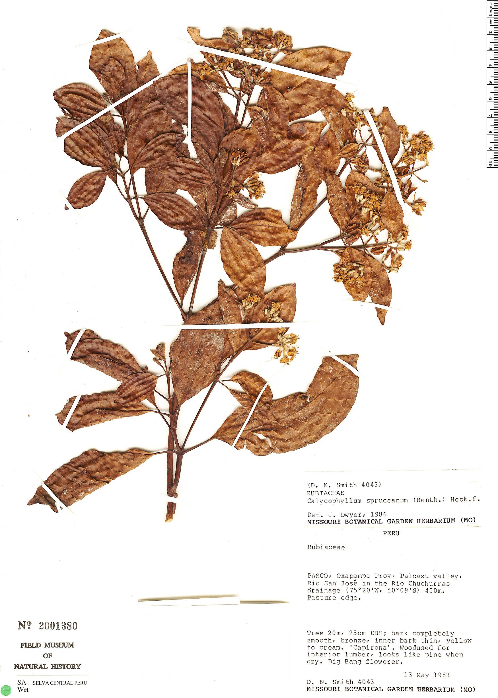 Espécime: Calycophyllum spruceanum