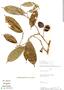 Couepia williamsii J. F. Macbr., Peru, Rod. Vásquez 6197, F