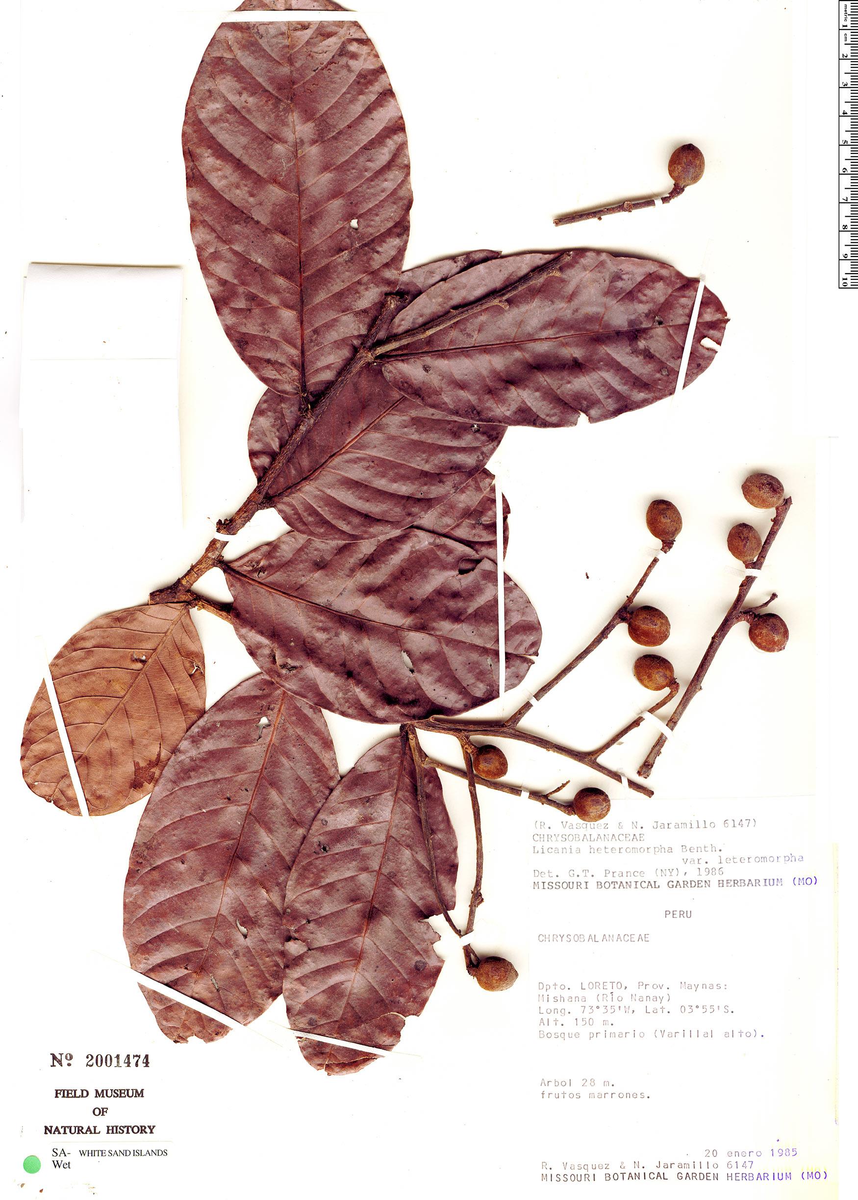 Specimen: Licania heteromorpha