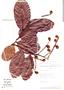 Licania heteromorpha image