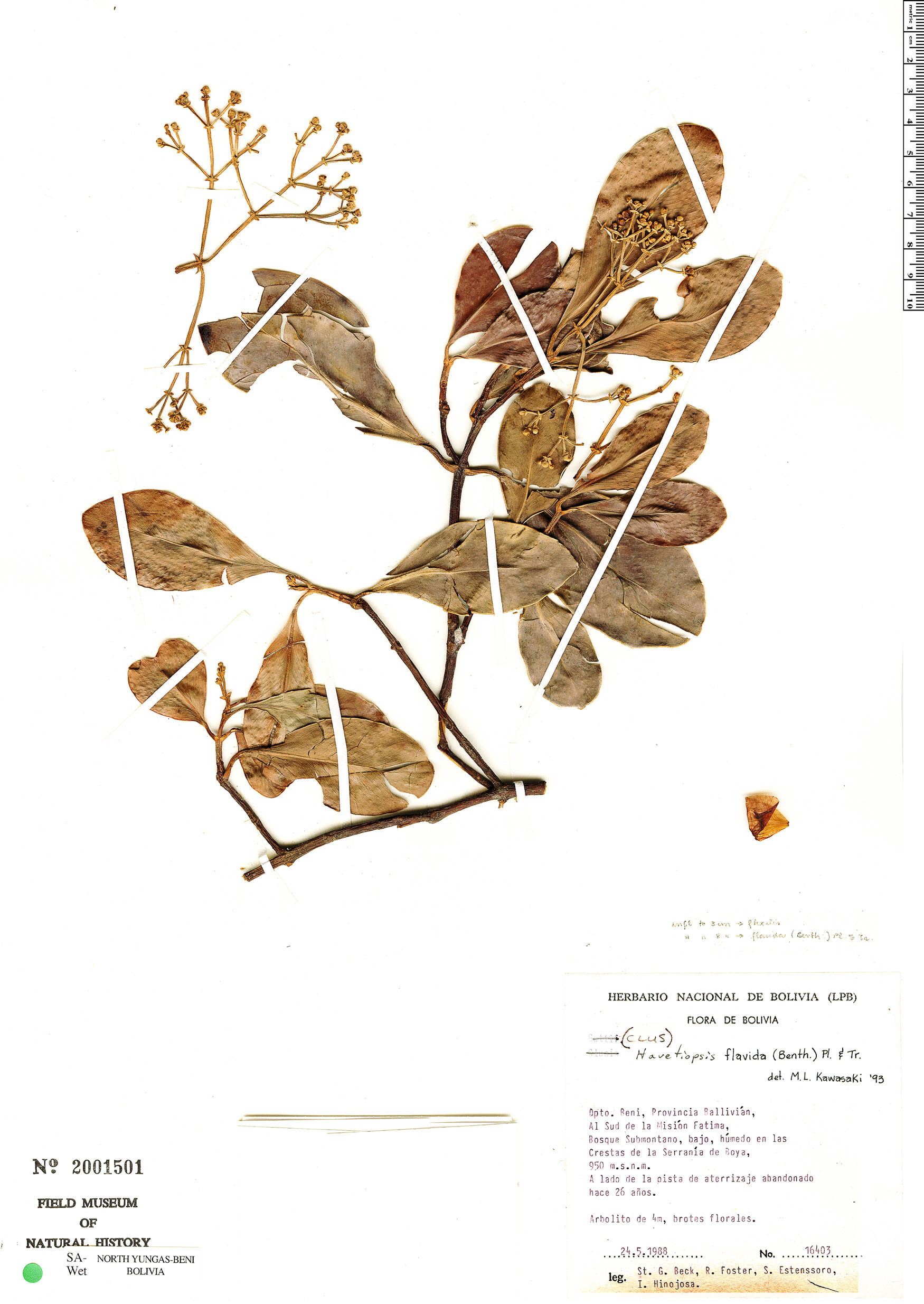 Specimen: Clusia flavida