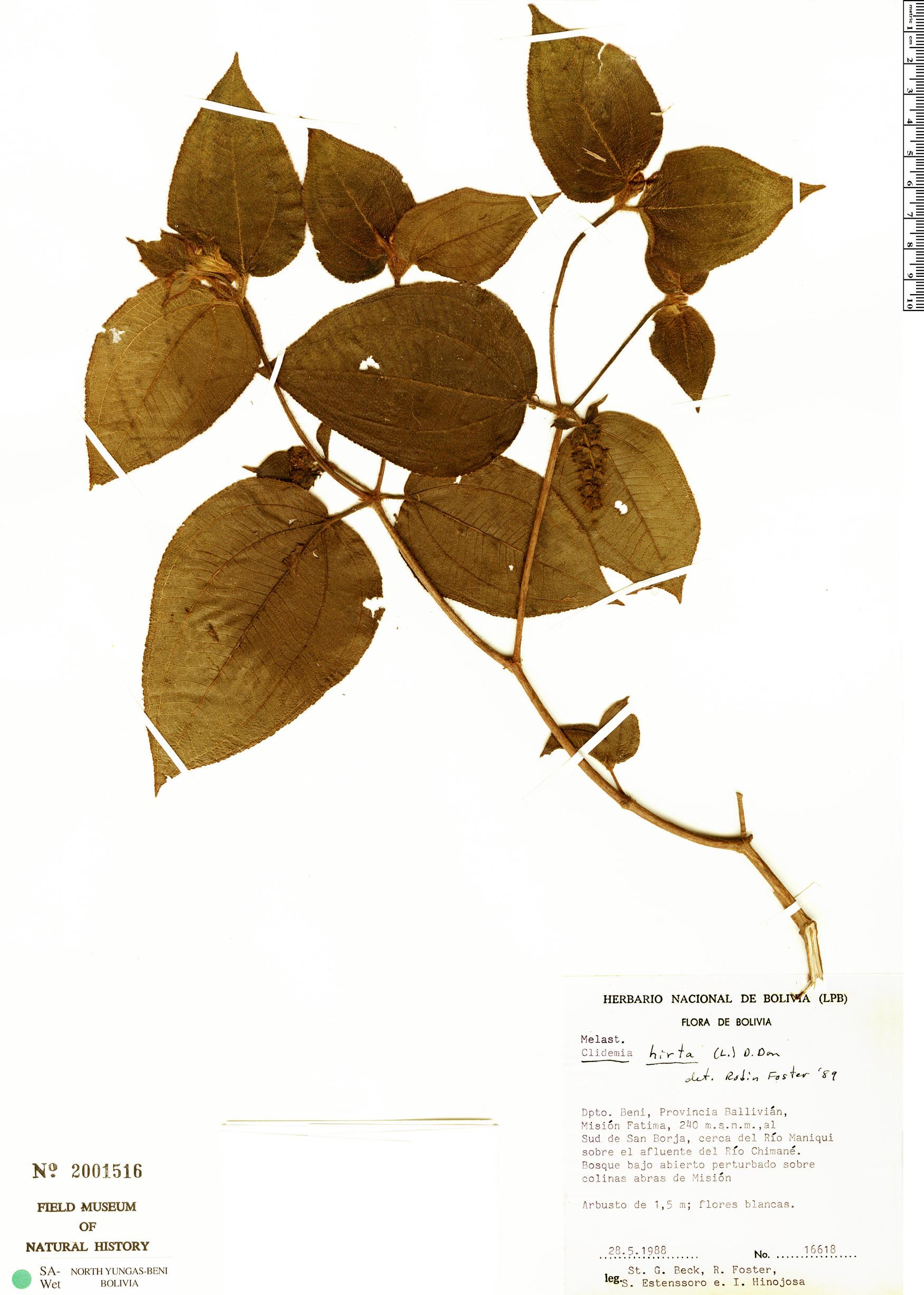 Specimen: Clidemia hirta