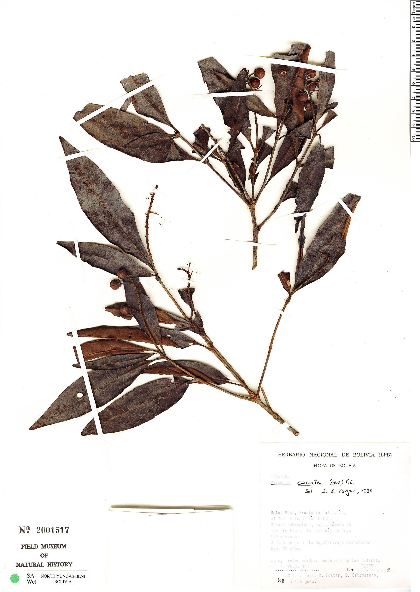 Espécimen: Byrsonima spicata