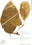 Ficus trigona L. f., Peru, R. B. Foster 9628, F