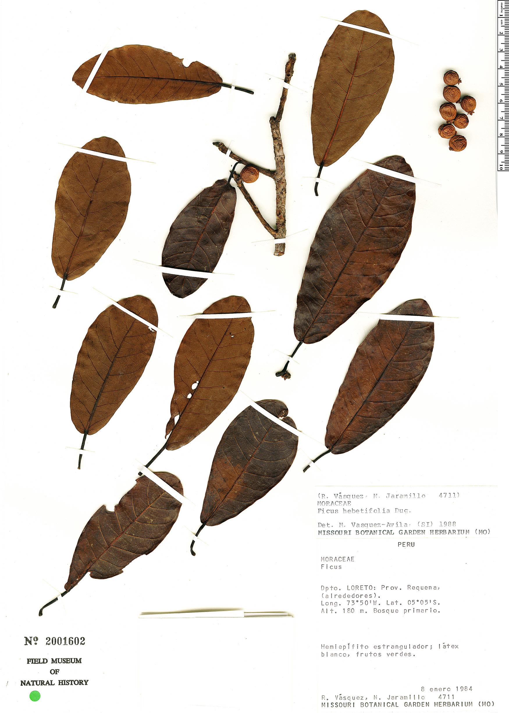 Specimen: Ficus hebetifolia