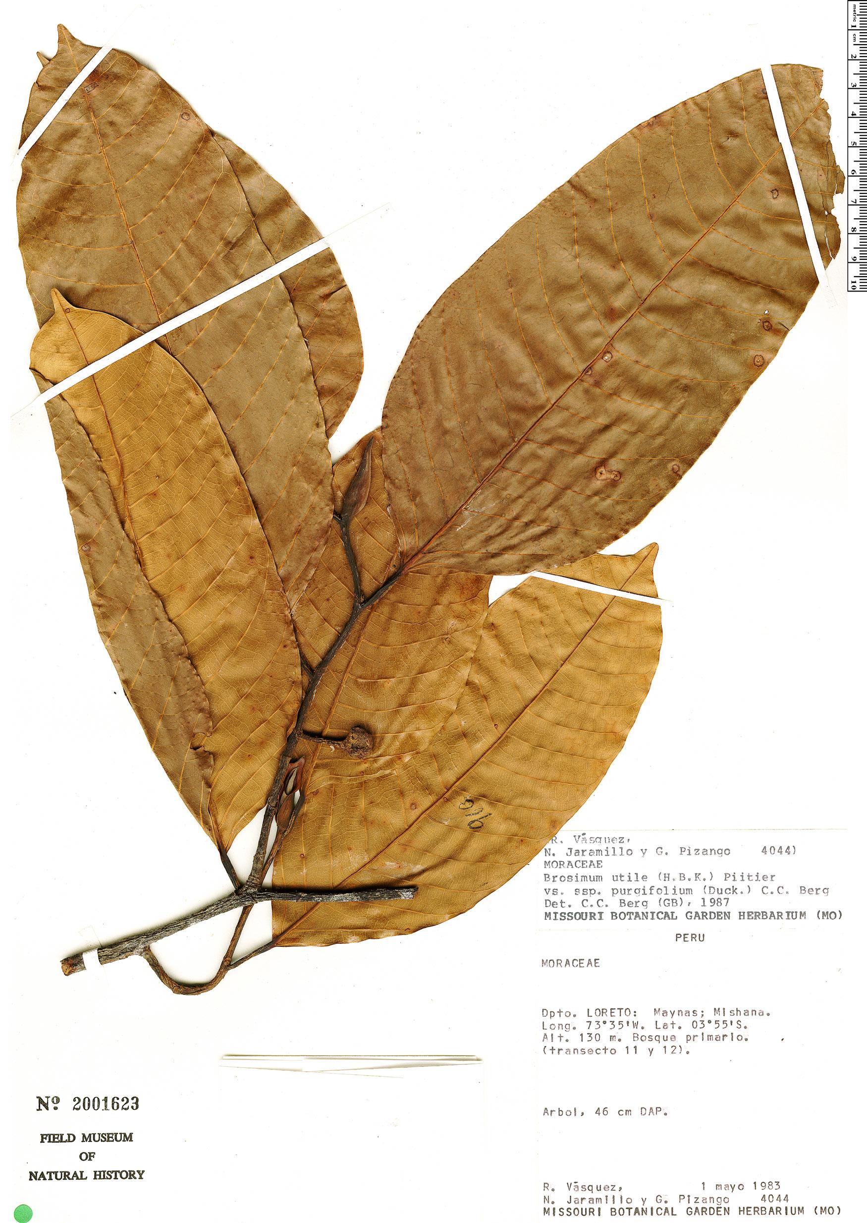 Specimen: Brosimum longifolium