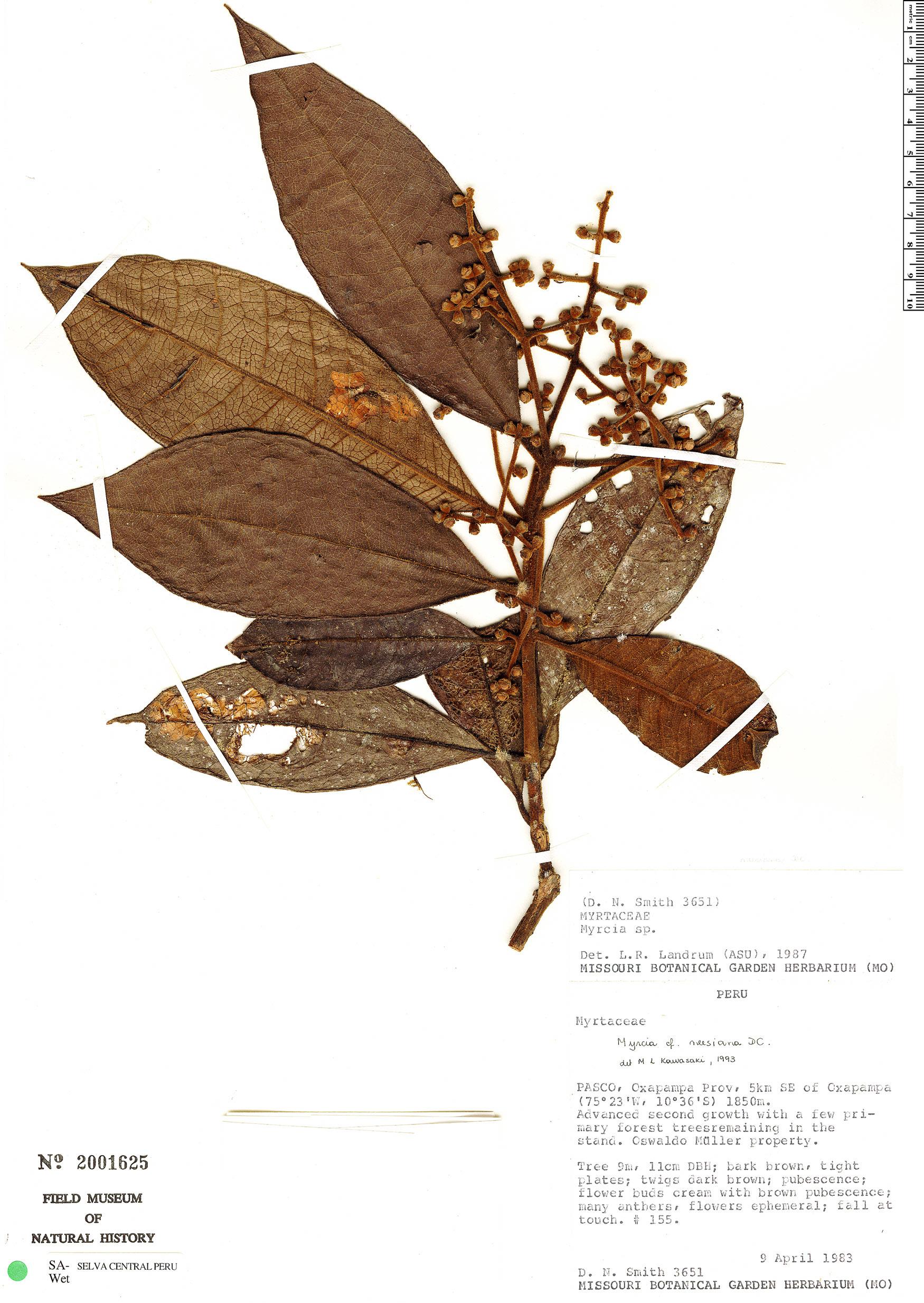 Specimen: Myrcia neesiana