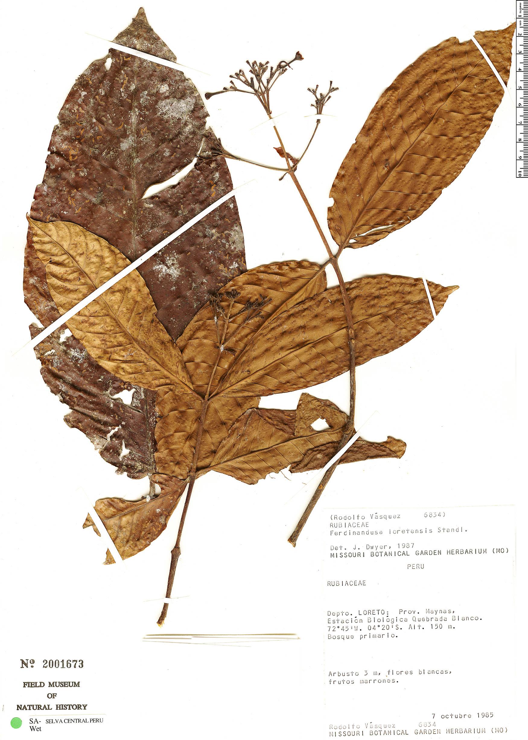 Specimen: Ferdinandusa loretensis