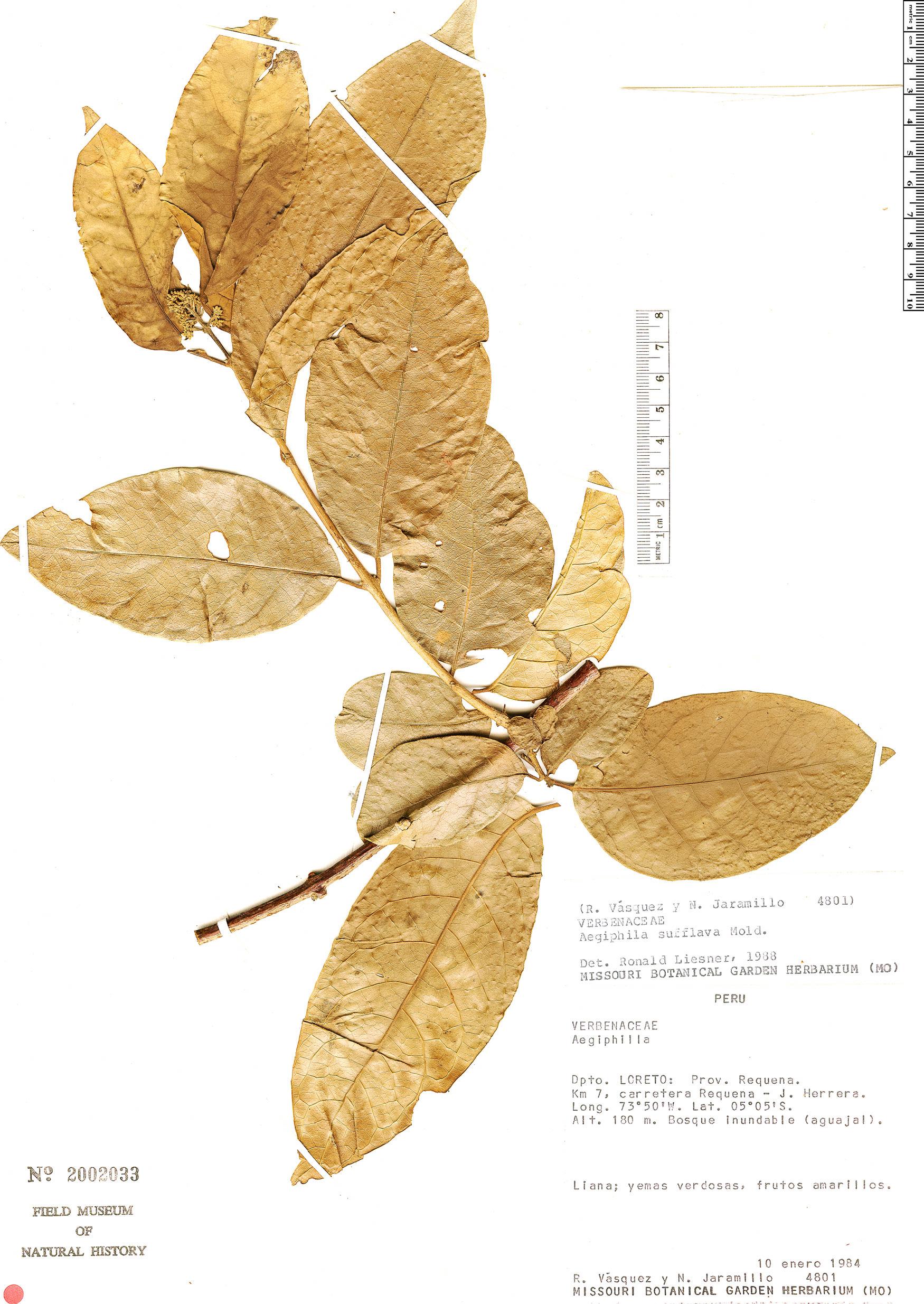 Specimen: Aegiphila sufflava