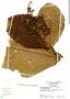 Miconia impetiolaris image